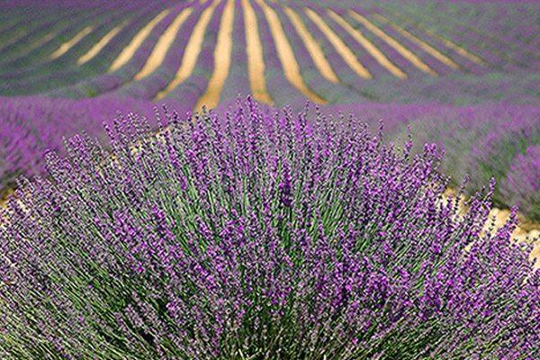 provence france lavendar field