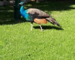 Peacock-Isola-Madre-Lake-Maggiore-Italy