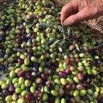 olive-harvest-Tuscany